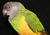 african parrot species for sale, exotic birds for sale in india