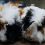 Imported Abyssinian Guinea Pigs