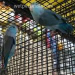 Pacific Parrotlets Blue