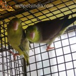 Pacific Parrotlets Green