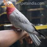 Gala Cockatoo
