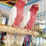 Lutino Gala Cockatoo