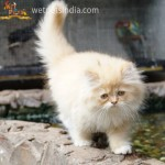 Punch Face Persian Kitten
