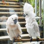 Moluccan & Umbrella Cockatoo