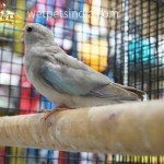 Torquizine Parakeets